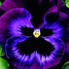 Pansy Colossus Neon Blue - Bulk Flower Seeds