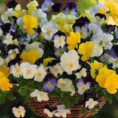 Pansy Cool Wave Mix - Bulk Flower Seeds