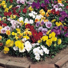 Pansy Crown Mix - Bulk Flower Seeds