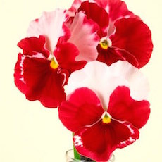 Pansy Desiderio Orchid Rose Tricolor - Bulk Flower Seeds