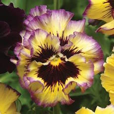 Pansy Fizzy Lemonberry - Bulk Flower Seeds