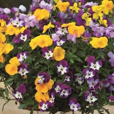 Pansy Freefall Mix - Bulk Flower Seeds