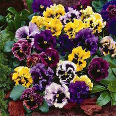 Pansy Frizzle Sizzle Mix - Bulk Flower Seeds