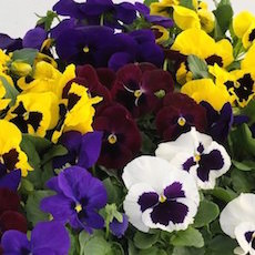 Pansy Grandio Blotched Colors Mix - Bulk Flower Seeds