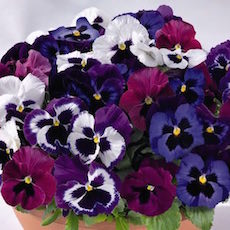 Pansy Inspire Deluxxe Mulberry Mix- Bulk Flower Seeds
