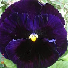 Pansy - Bulk Flower Seeds