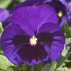 Pansy Majestic Giant 2 Blue Jeans - Bulk Flower Seeds
