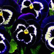 Pansy Mammoth Viva la Violet - Bulk Flower Seeds