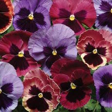 Pansy Matrix Coastal Sunrise Mix - Bulk Flower Seeds