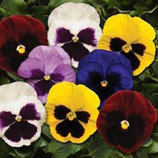 Pansy Spring Matrix Blotch Mixture - Bulk Flower Seeds