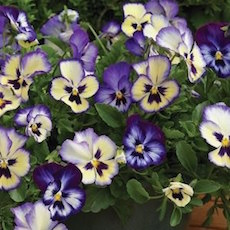 Pansy Wonderfall Blue Picotee Shades - Bulk Flower Seeds