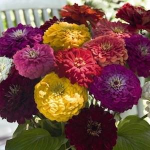 Zinna Benary's Giant Mix - bulk zinnia seeds