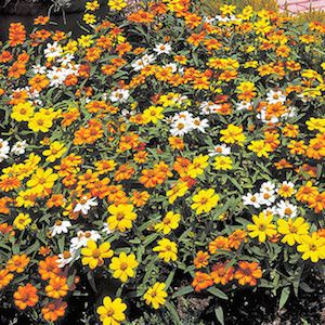 Zinna Crystal Mix - bulk zinnia seeds