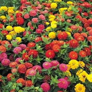 Zinna Dreamland Mix - bulk zinnia seeds