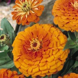 Zinna Orange King - bulk zinnia seeds