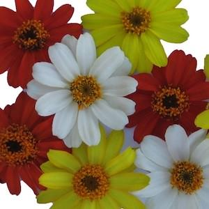 Zinna Profusion Sunrise Mix - bulk zinnia seeds
