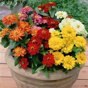 Zinna Short Stuff Mix - bulk zinnia seeds