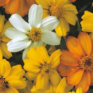 Zinna Starbright Mix - bulk zinnia seeds