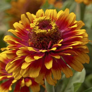 Zinna Zowie Yellow Flame - bulk zinnia seeds